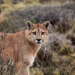 Puma-Weibchen, Chile