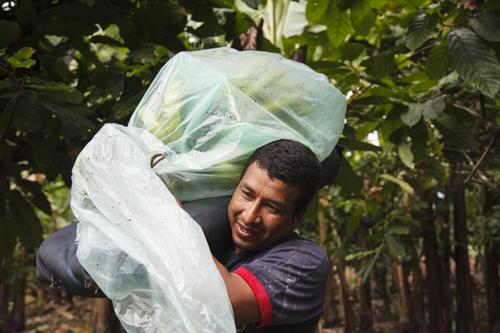 Bio-Bananen aus Ecuador