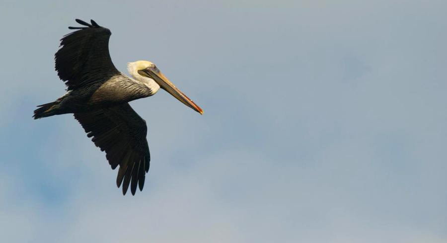 Pelikan, Küste von Moquegua, Arequipa
