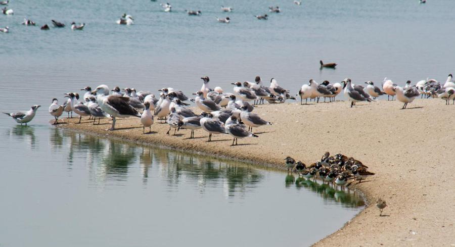Möwen und Pelikanen an der Costa Verde, Lima, Peru